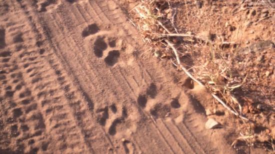lion-tracks