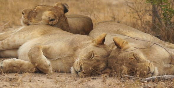 Lion Pride Sleeping 1 590x300